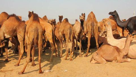 Pushkar Camel Fair - group of camels during festiv Stock Video Footage