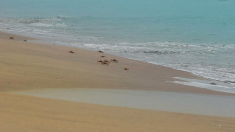 many crabs on the beach Live Action