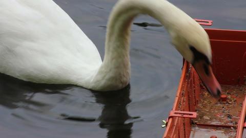 swan feeding on lake Footage