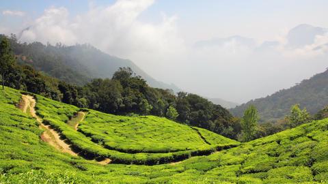 mountain tea plantation in Munnar Kerala India - t Stock Video Footage