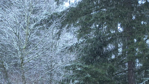 Snow Falling on Pines Stock Video Footage