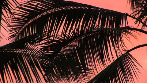 Palm Fronds Footage