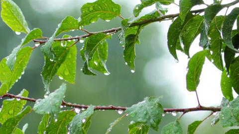 rain drops on green leaves Footage