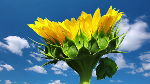sunflower on a background cloudy sky Stock Video Footage
