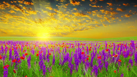 field of spring flowers at sunset Stock Video Footage