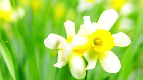 Narcissus in the green grass Stock Video Footage