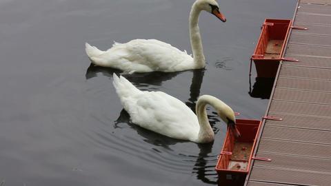 swan feeding on lake Stock Video Footage