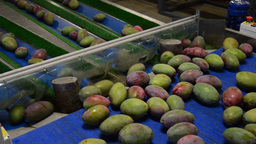 Mangoes Fruit In A Pack Line stock footage