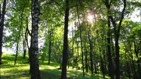 sun in summer woods Stock Video Footage
