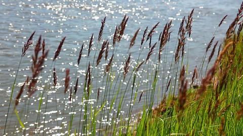 green grass on riverside in wind Stock Video Footage