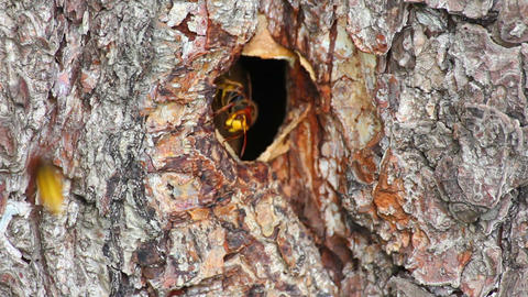 hornet's nest in tree hollow - timelapse Stock Video Footage