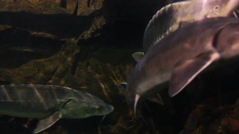 russian sturgeon fish underwater Stock Video Footage