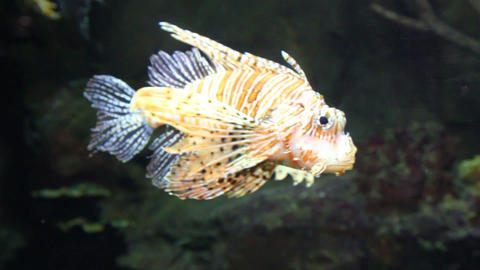 lionfish zebrafish underwater close-up Stock Video Footage