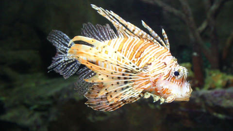 lionfish zebrafish underwater close-up Stock Video Footage