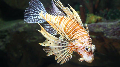 lionfish zebrafish underwater close-up Footage