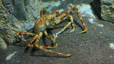 large crab underwater Live Action