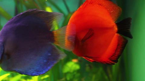 red discus fish in aquarium Stock Video Footage
