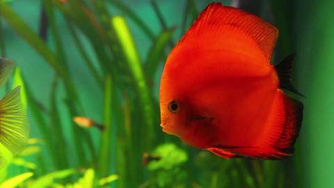 red discus fish in aquarium Stock Video Footage