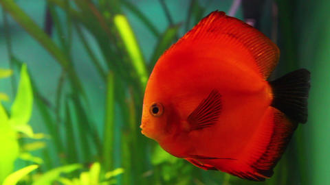 red discus fish in aquarium Live Action