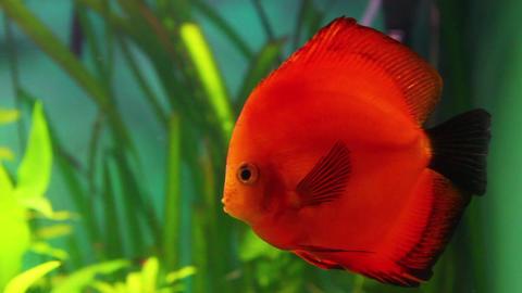 red discus fish in aquarium Footage