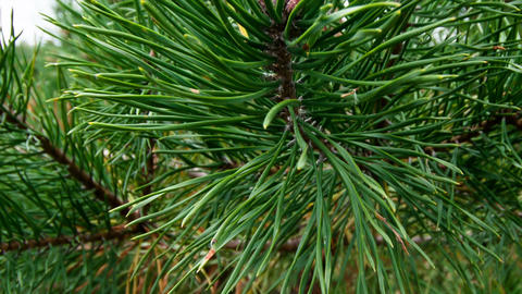 Pine branches Stock Video Footage