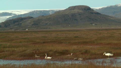 Whooper swans (cygnus cygnus) in icelandic wetland Stock Video Footage