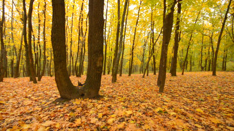 Panoramic Motion through a Colorful Autumn Woods Stock Video Footage