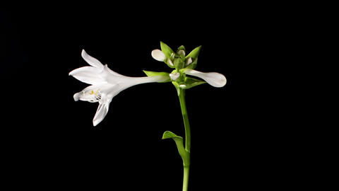 Blooming white hosta on the black background (Host Stock Video Footage