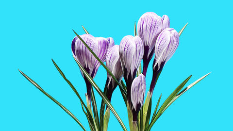 Growth of violet crocuses flower buds ALPHA matte Footage