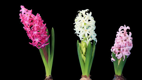 Time-lapse opening hyacinth flower buds ALPHA matt Stock Video Footage
