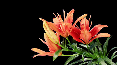 Blooming red lily flower buds ALPHA matte (Lilium Stock Video Footage