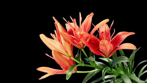 Blooming red lily flower buds ALPHA matte (Lilium Footage