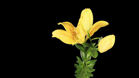 Blooming yellow lily flower buds ALPHA matte (Lili Stock Video Footage