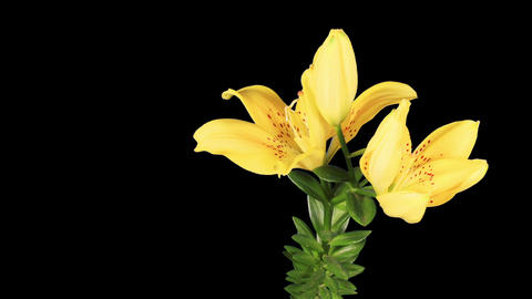 Blooming yellow lily flower buds ALPHA matte (Lili Footage
