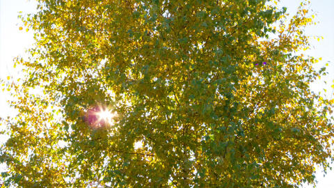 Sun behind birch branches. Time Lapse Footage