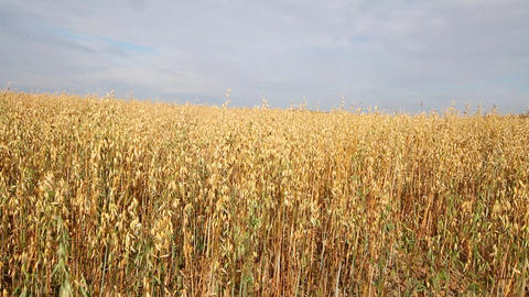 oat crop on an agricultural field Footage