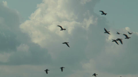 Flock Of Geese Flying On Cloudy Sky stock footage