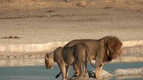 african lions in etosha national park namibia Stock Video Footage
