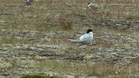 Arctic Tern (Sterna paradisaea) in iceland Footage