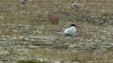 Arctic Tern (Sterna paradisaea) in iceland Stock Video Footage
