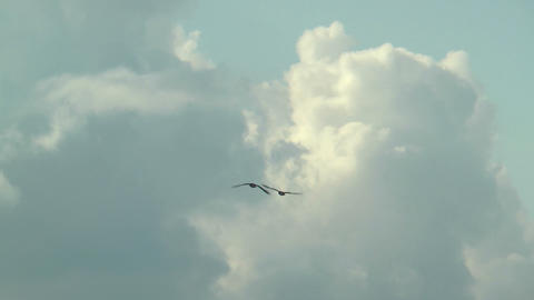 couple of greylag geese fly over tracking shot Stock Video Footage