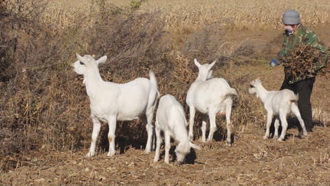 White goats eating dry grass Footage