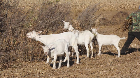 White goats eating dry grass Stock Video Footage
