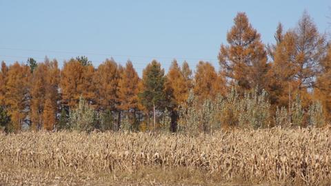 Corn field 02 Stock Video Footage