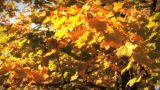 (1123) Autumn Golden Maple Tree Leaves Falling stock footage