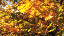 (1123) Autumn Golden Maple Tree Leaves Falling Stock Video Footage