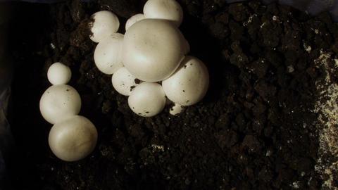 Timelapse mushrooms 02 Stock Video Footage