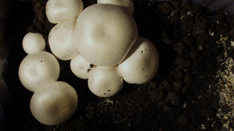 Timelapse mushrooms 02 Stock Video Footage