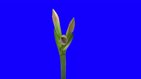 Time-lapse opening Minerva Christmas amaryllis 2 blue chroma key Footage