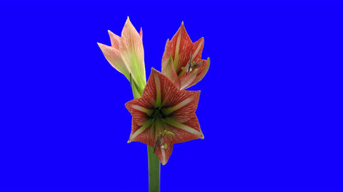 Time-lapse opening Minerva Christmas amaryllis 2 blue... Stock Video Footage